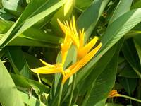 yellow heliconia at the garden
