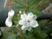 jasmine flower at the tree