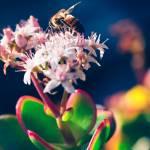 Crassula Ovata Flowers And Honey Bee
