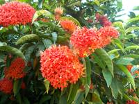 red ixora flowers on the tree