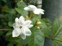 jasmine flower on the tree