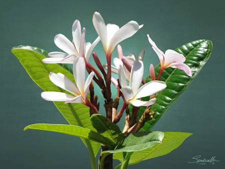 The Frangipani Flower