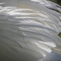 """""""Closeup of Swan Feathers"""" by SederquistPhotography"""