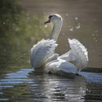 """""""Male Swan with Ruffled Feathers"""" by SederquistPhotography"""