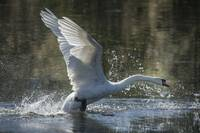 Swan in Flight