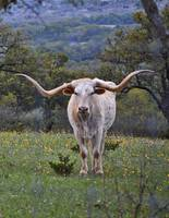 White Texas Longhorn