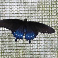 Blue Butterfly Art Prints & Posters by Shamaine Daniels