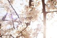 Light Through The Cherry Blossoms