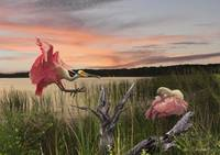 Roseate Spoonbills of Florida