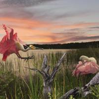 Roseate Spoonbills of Florida by I.M. Spadecaller