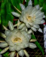Night Blooming Cereus (Queen of the Night)