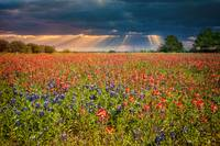 Light on Texas Wildflowers
