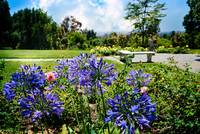 Agapanthus in the Rose Garden