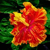 Double Yellow Orange Hibiscus