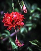 Fringed Red Hibiscus