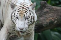 White Tiger - Singapore Zoo