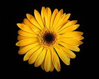 gerbera-yellow-oly-P7290051