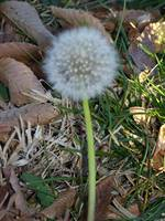 Leaves and Dandelion