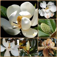 Evolving Magnolia Collage