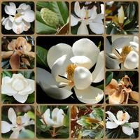 Magnolia Collage by Carol Groenen