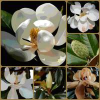 Evolving Magnolia Grandiflora Design by Carol Groenen