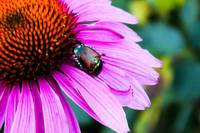 Beetle on a Cone Flower