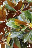 Lovely Magnolia Leaves by Carol Groenen