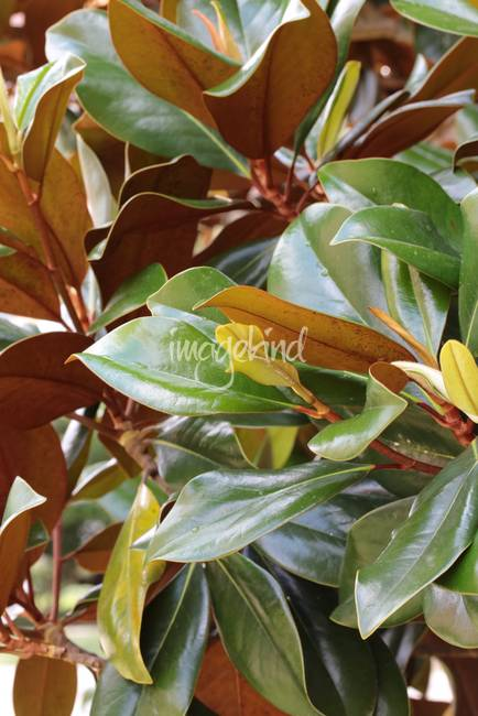 Lovely Magnolia Leaves