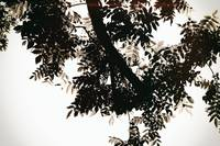 Nut tree leaves