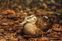 Resting Duck