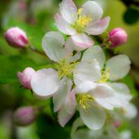 Apple Blossom Art Prints & Posters by Michele James