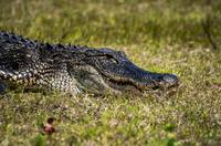 Resting Alligator Closeup