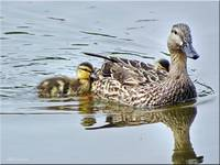 Duck and Ducklings 2