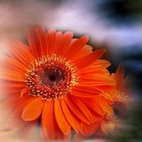 flowers on texture - gerbera -2-
