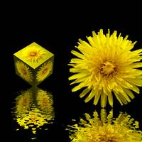 dandelion and cube