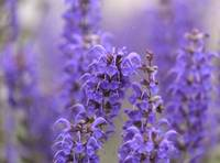 lavender dream -2-