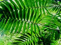 Jungle Ferns