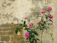 Pink Rose Bush along Ancient Istrian Wall