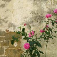 Pink Rose Bush along Ancient Istrian Wall Art Prints & Posters by Jane Krupnick