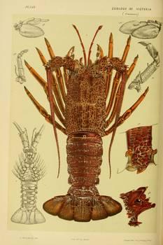 vintage lobster anatomy diagram 1890 by alleycatshirts zazzle rh imagekind com Lobster Diagram Labeled Lobster Diagram Labeled