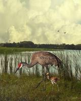 Florida Sandhill Crane with Baby