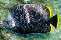 Wrought Iron Butterflyfish
