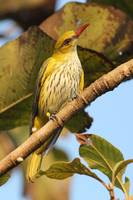 Indian Oriole