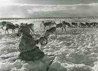 Elisabeth  Meyer, Sami with herd of reindeer at th