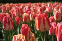Close-up of tulips with pink yellow petals.