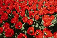 Tulips with red petals in a field at spring.