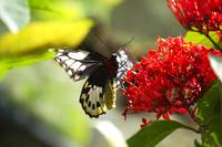 Black white and red butterfly on a red flower.