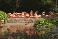 Pink flamingos on the riverside drinking water.