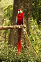 Red blue parrot sitting on wooden branch in forest