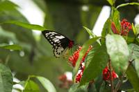 black white red colored butterfly on red flower.